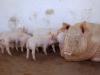 1991465703_schweine-4